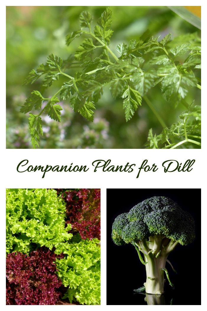 Companion plants for dill are chervil, lettuce, broccoli and many others.
