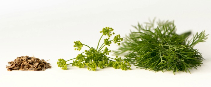 All parts of the dill plant is edible from the leaves to stems, seeds and flowers