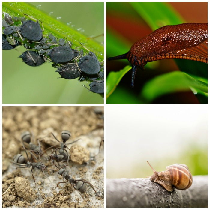 Ants, slugs, snail and garden pests.