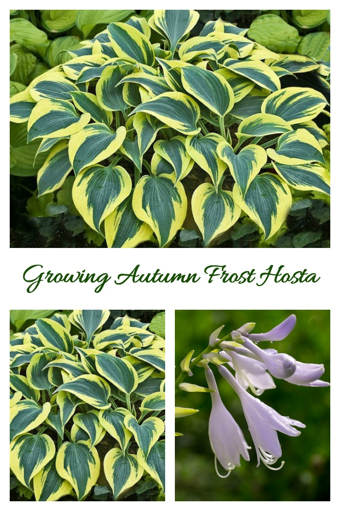 Growing tips for Autumn Frost Hosta, a shade loving perennial