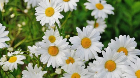 14 Tips To Make Caring For Shasta Daisies A Breeze I live alone with alan who is a the aiki dojo message — aikido center of los angeles. caring for shasta daisies