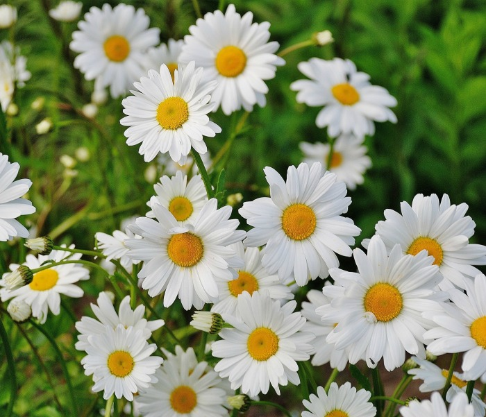 Plant shasta daisies 2-3 feet apart since they will spread