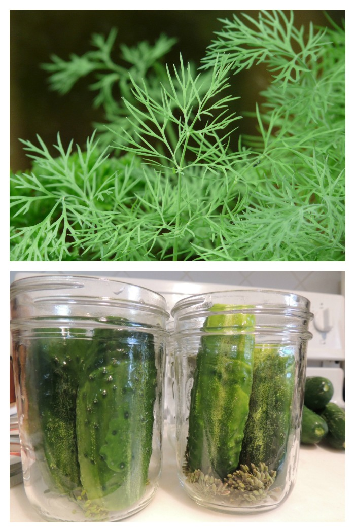 Dill is a very aromatic herb that is used in pickling and many more ways. It is easy to grow, both indoors and out.