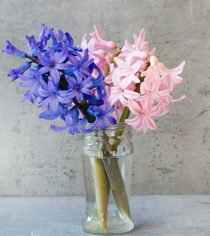 Hyacinths in a jar of water