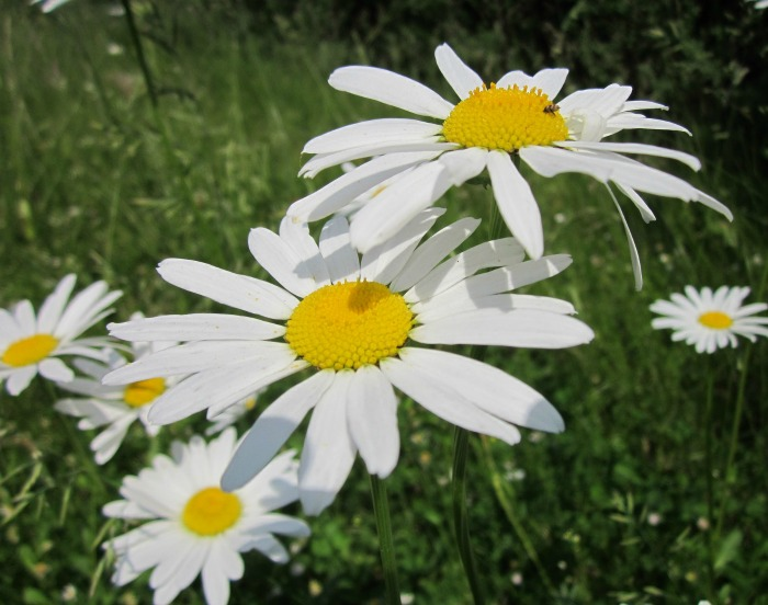 Oxeye Daisy is similar to Shasta Daisy