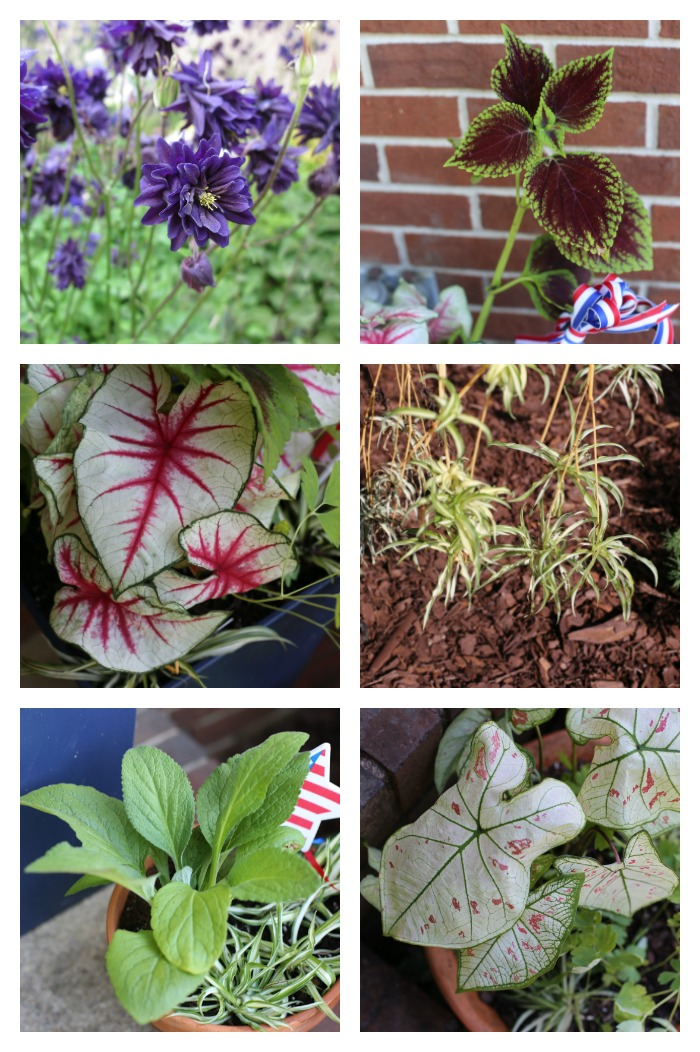 Plants used for the 4th of July planters