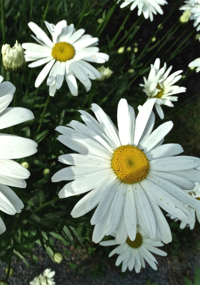 Growing Shasta Daisies is easy with these care tips