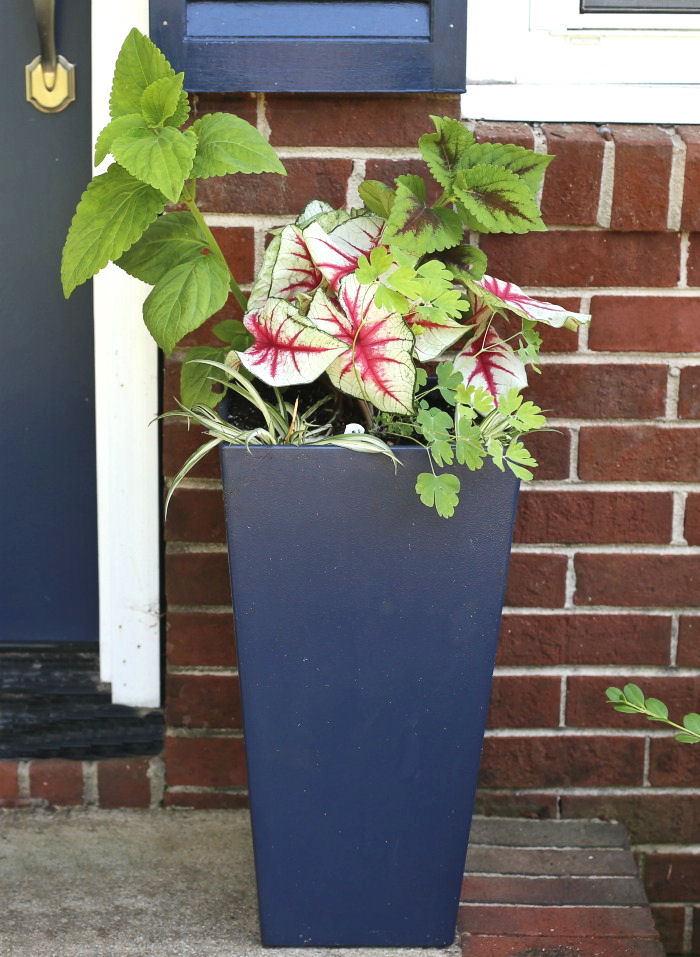 Tall blue planter with coleus, caladium, columbine and spider plants