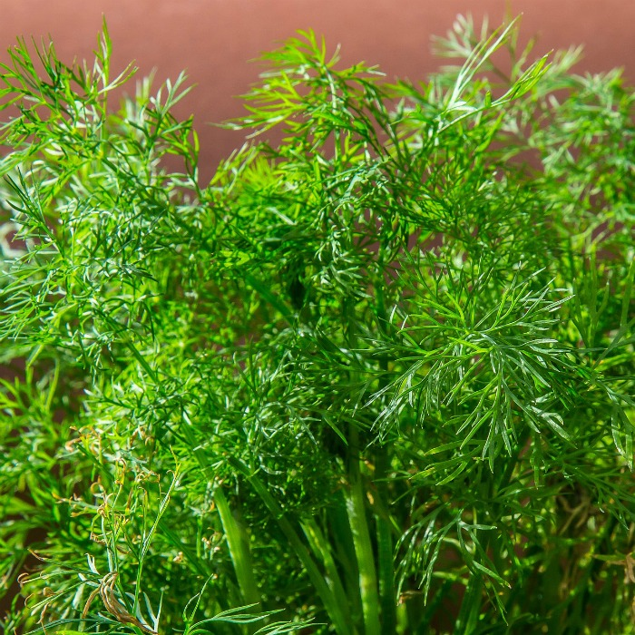 Tips for growing fresh dill