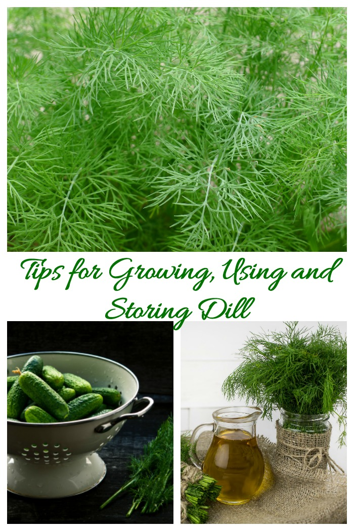 Growing dill is easy to do. It likes lots of sunlight but is otherwise a forgiving plant. The herb is used in many types of recipes and has many heath benefits