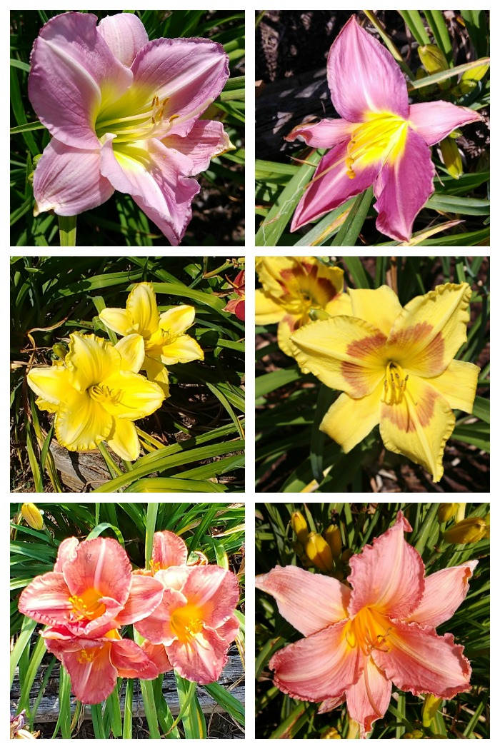 The daylilies at Wildwood Farms come in all kinds of colors