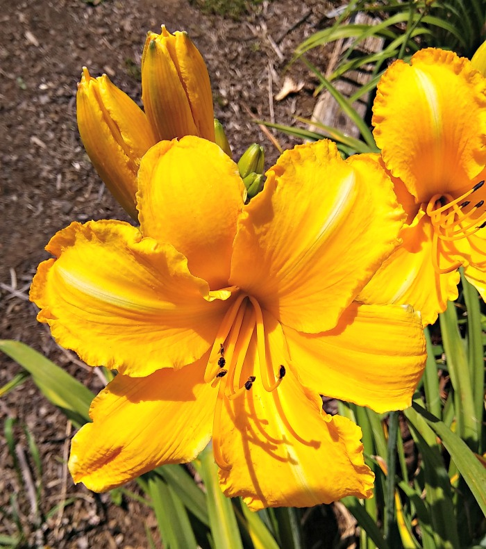 Mary's Gold Daylily