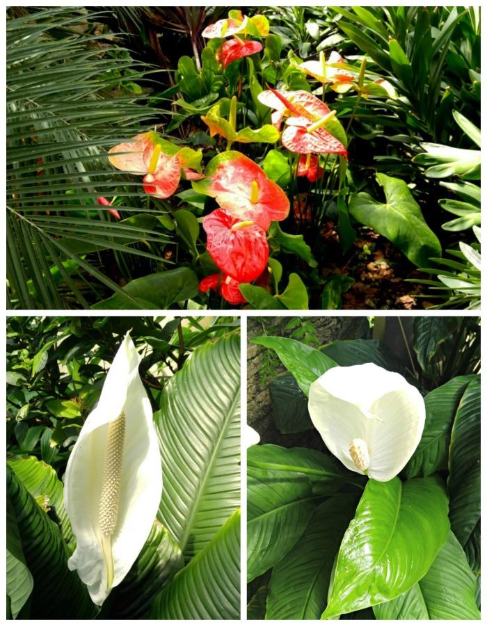 Anthuriums in flower