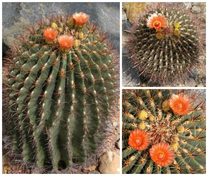 Fish hook barrel cactus in flower