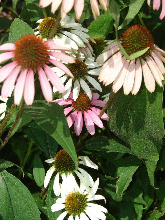 Caring for coneflowers
