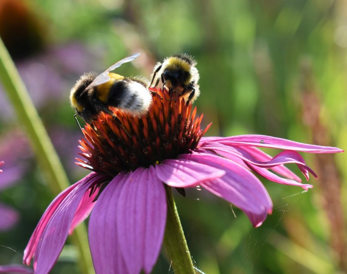 Bees love the coneflower heads