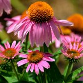 Coneflower care