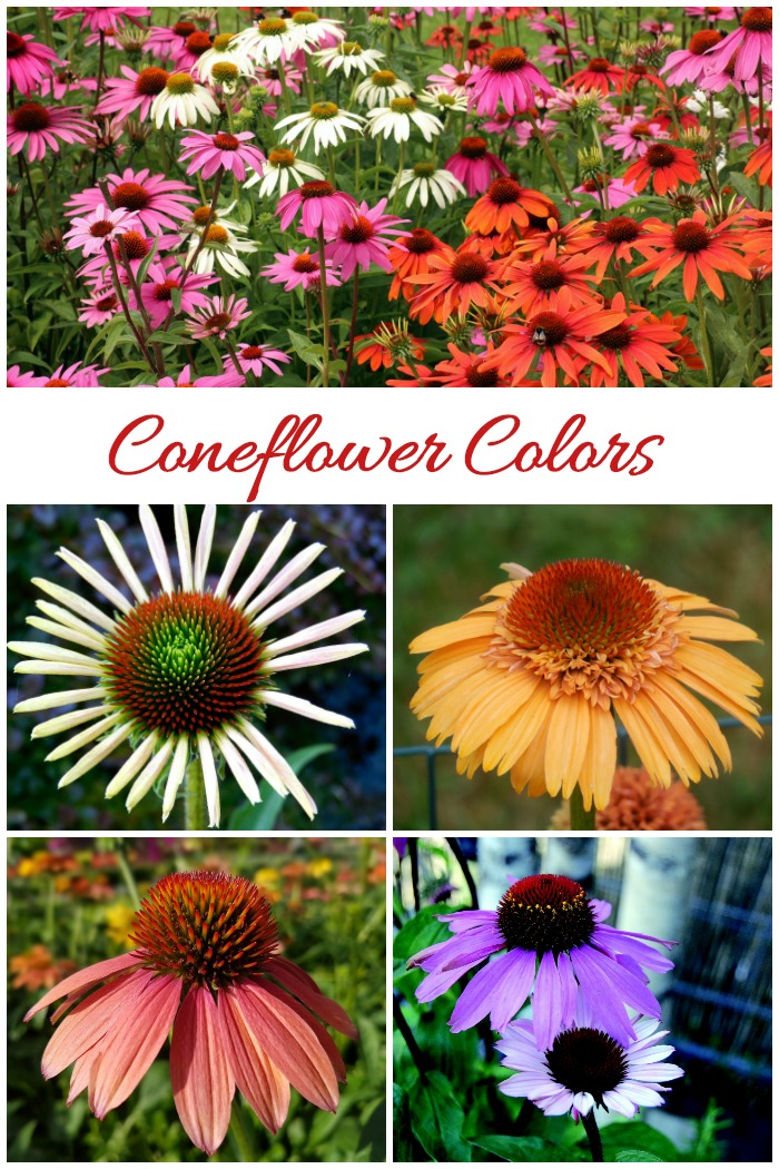 "Coneflowers come in many different colors even though the common name for echinacea is ""purple coneflower."""