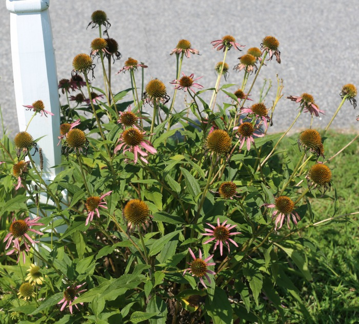 Pruning coneflowers later in the growing season by 1/3 can give a second round of flowers
