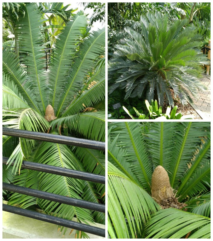 Cycads in the tropical gardens of the Foellinger-Freimann Botanical Conservatory