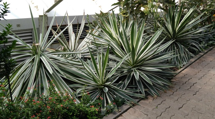 Agave pathway