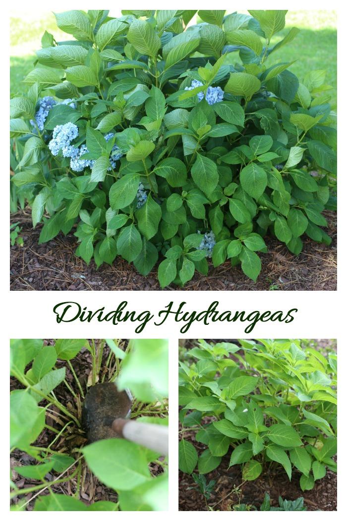 Divide hydrangeas when they outgrow their garden spot