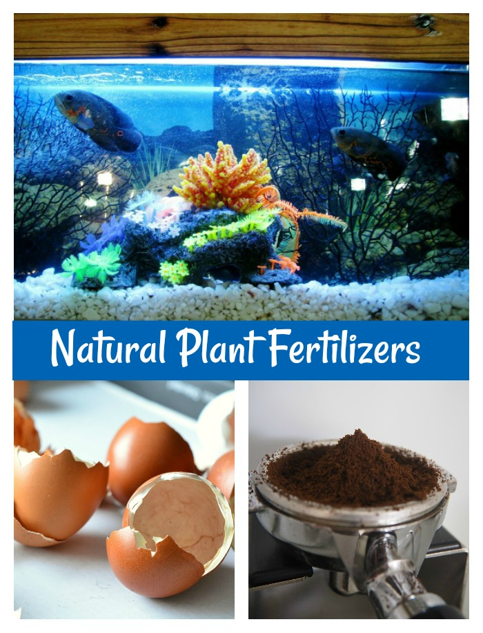 egg shells, coffee grounds and aquarium water make good natural plant fertilizers