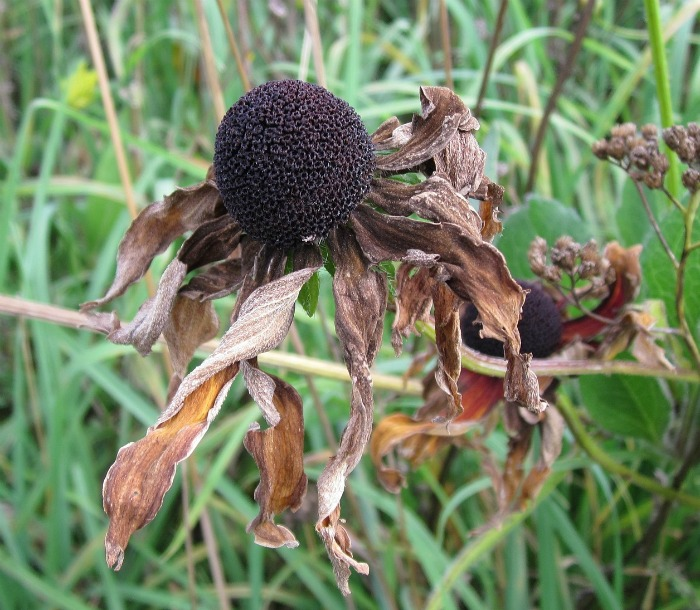 dried coneflowers