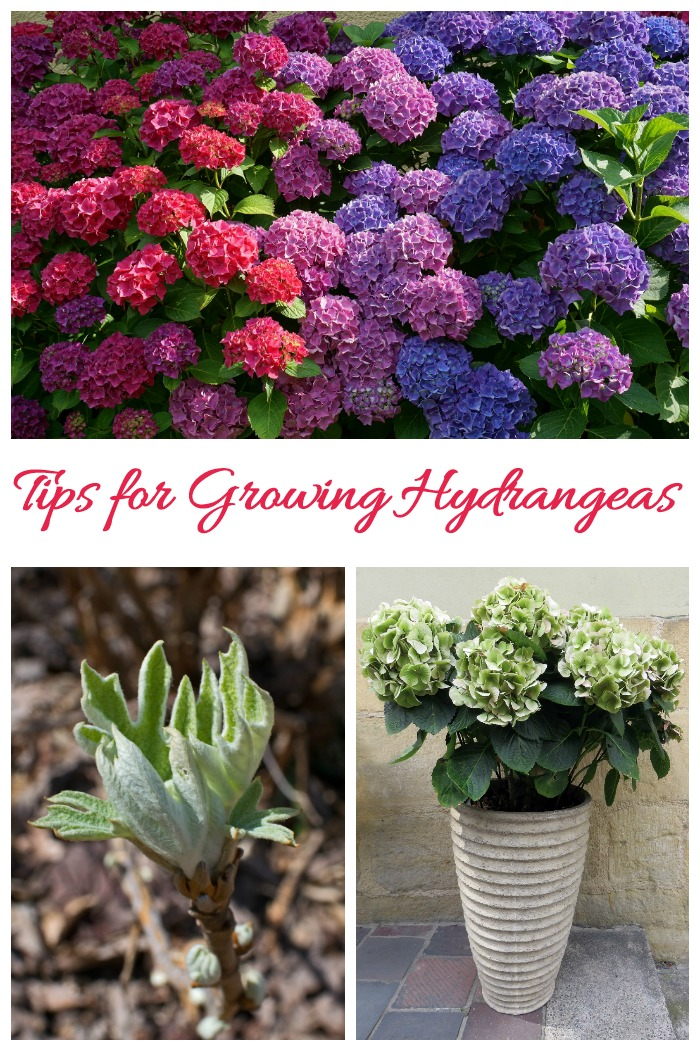 Hydrangea Care - Tips for growing hydrangeas as well as drying, propagating and learning about the different types.