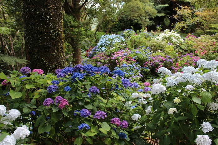 hydrangeas bloom in mid summer in most areas of the country