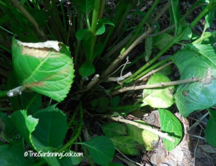 hydrangea canes