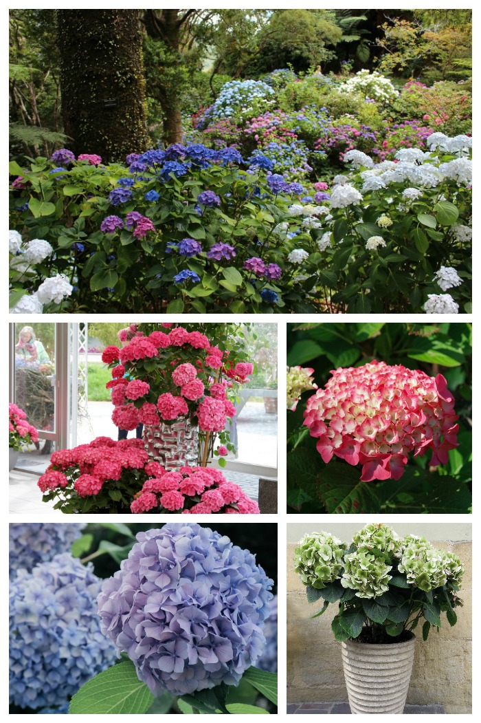 Hydrangea Care Growing Propagating And Drying Hydrangea Flowers