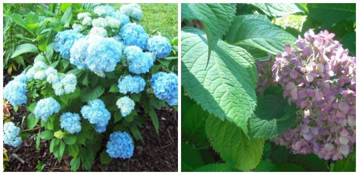 Hydrangeas can change color depending on soil pH.