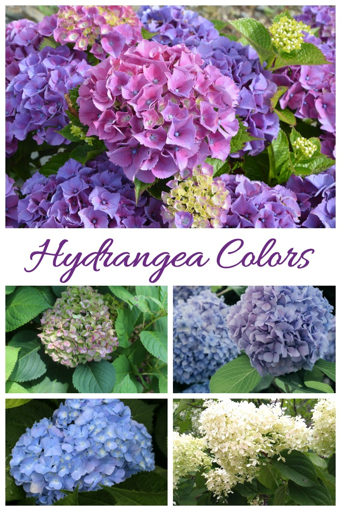 Hydrangeas come in many colors and may change color as well.