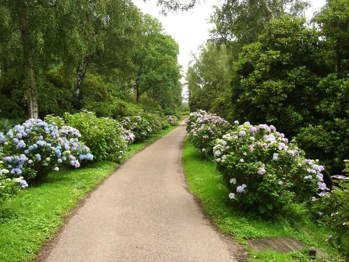 Hydrangeas planted on a long drive
