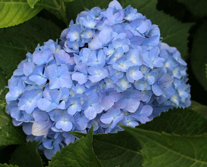 Close up of a hydrangea flower