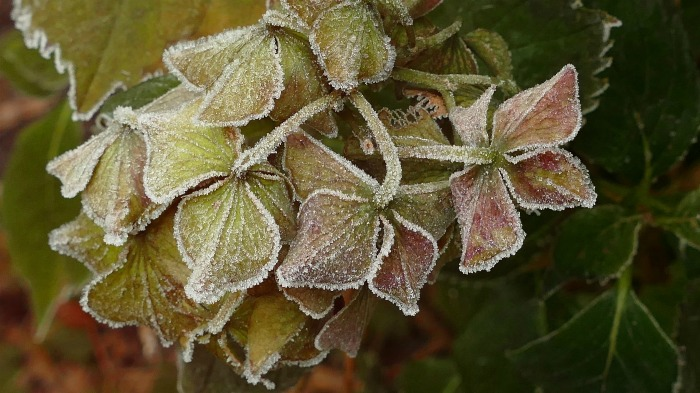 hydrangeas are cold hardy in zones 5-8. some will go to zone 3.