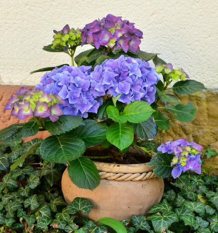 Hydrangea plant in a pot