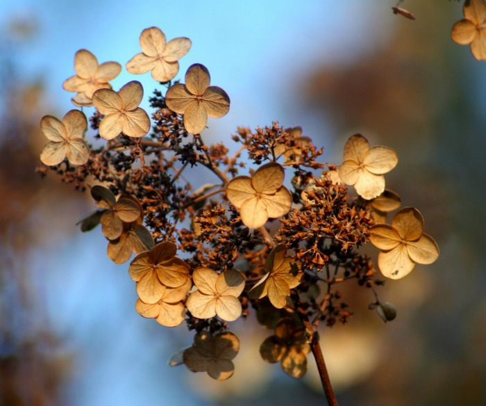 Hydrangea seed pods