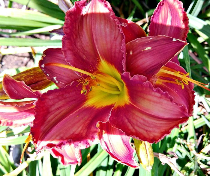 Kent's Favorite Two Daylily