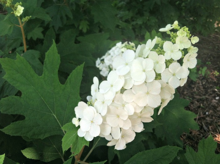 Oak leaf hydrangeas have leaves that are shaped like oak leaves and change color in the fall.