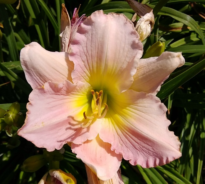 Orchid Ice daylily has 6 inch blooms