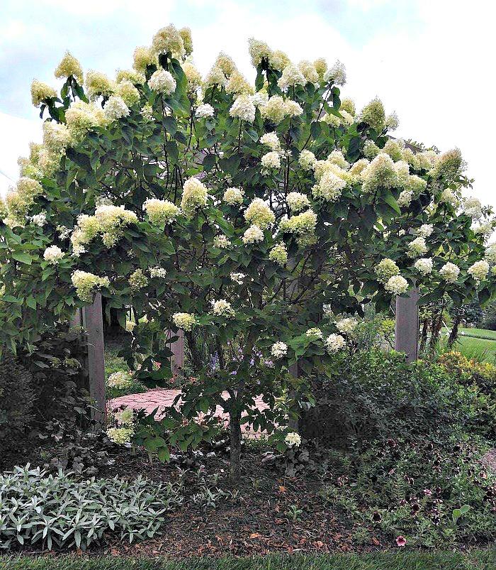 Panicle hugrangeas can be pruned to a tree shape