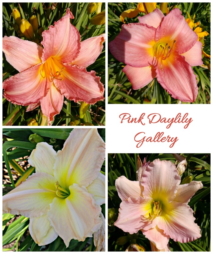 Enjoy the pink daylilies in my tour of Wildwood Gardens in Virginia