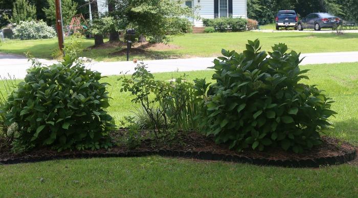 Plant hydrangeas 3-10 feet apart depending on the variety