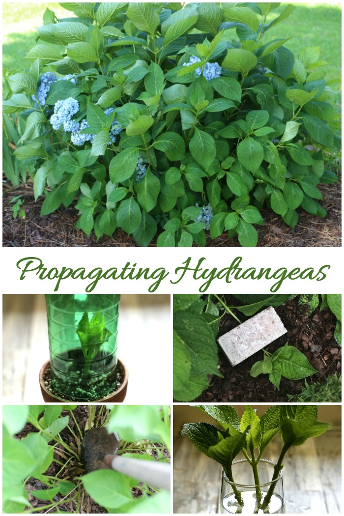 These tips for propagating hydrangeas will show how to make cuttings, how to tip root, how to divide and how to grow hydrangea from seed.