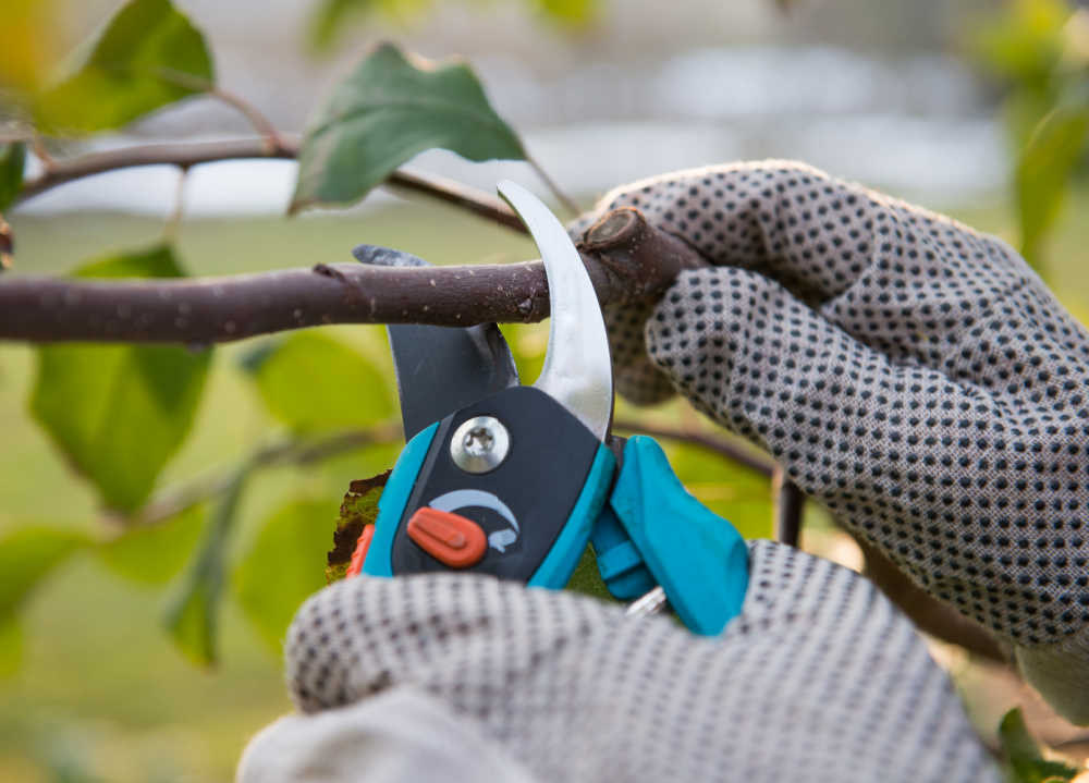 Hands in garden gloves with pruners and branch.