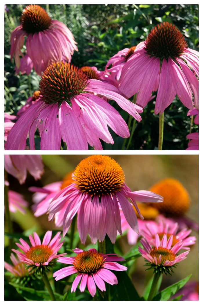 How to care for Purple coneflowers
