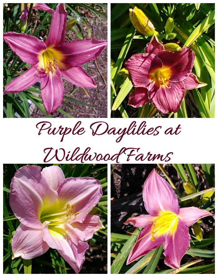 Purple Daylilies at Wildwood Farms -just one of many daylily galleries in my Daylily toyr