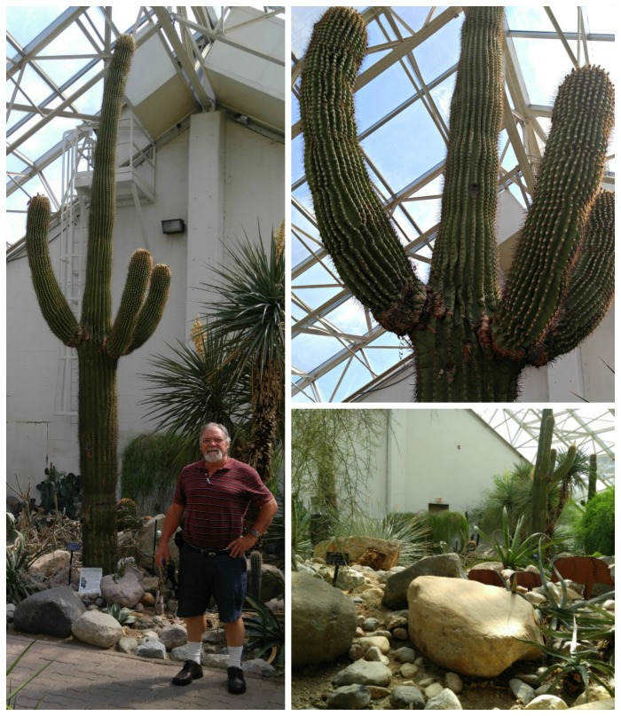 Saguaro cactus display
